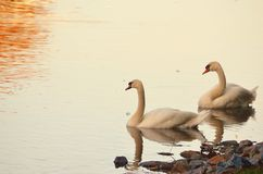 Swan Couple Royalty Free Stock Photography