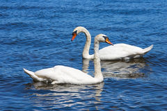 Swan couple. Royalty Free Stock Photography