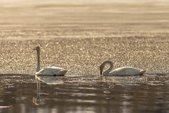 Swan couple Royalty Free Stock Photos