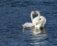 Swan couple mating. Royalty Free Stock Photography