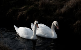 Swan couple searching for food. Picture of a swan couple searching for food Stock Photos