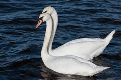 Swan couple. Side by side Royalty Free Stock Photo