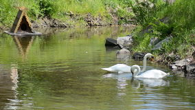 Swan couple swimming in the pond. Their heads and necks make a heart shape. stock video