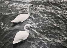 Swan couple swimming in sea waters Stock Images