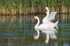 Swan couple waving wings Stock Image