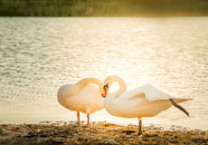 Swan couple. Swans putting heads together in front of lake Royalty Free Stock Photography
