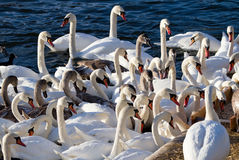 Swan crowd. Stock Image