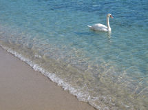 Swan in crystal clear shallow sea water. Swan swimming in the shallow sea water near the beach Royalty Free Stock Photo