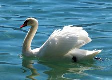 Swan in crystal clear water Stock Photography