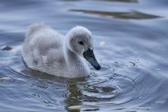 Swan cub Royalty Free Stock Image