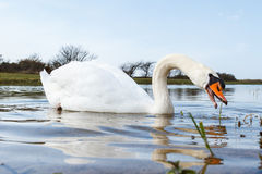 Swan with Curved Neck. A white swan in the water with bended neck reaching for a weed to eat Stock Photo
