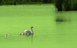 Swan with cute little swans Royalty Free Stock Photo