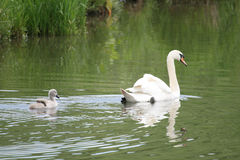 Swan and Cygnet Royalty Free Stock Image