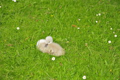Swan Cygnet (Anserinae) Royalty Free Stock Photography
