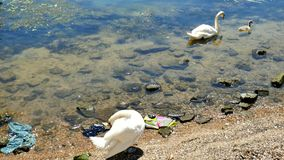 Swan, cygnet , bird, seine , paris Stock Images