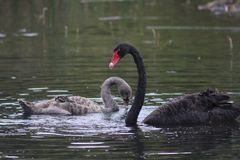 Swan and Cygnet Stock Photos