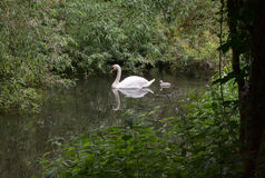 Swan and Cygnet. Swan with a Cygnet swimming in tranquil tree lined river Stock Image