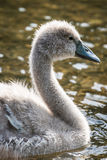 Swan cygnet Royalty Free Stock Photo