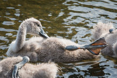 Swan cygnet Royalty Free Stock Photos