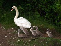 Swan and Cygnets Stock Images