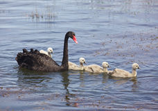 Swan and Cygnets Stock Photo