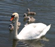 Swan and cygnets Royalty Free Stock Photography
