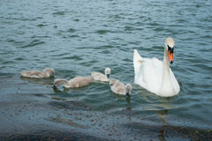 Swan and cygnets. White swan with cygnets on lake royalty free stock photos