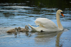 Swan and cygnets Royalty Free Stock Image