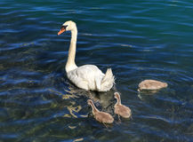 Swan with cygnets on the Aare river in Switzerland Stock Images