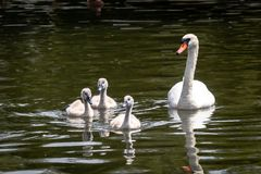 Swan and cygnets stock image