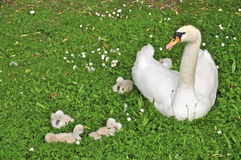 Swan and Cygnets (Anserinae) Stock Photography
