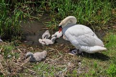 Swan with cygnets Royalty Free Stock Photography