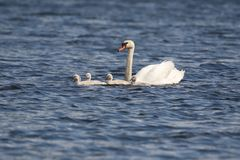 Swan with Cygnets on a Blue Lake. A family of young mute swan Cygnus olor cygnets swimming with the swan parent on a blue lake in Springtime stock image