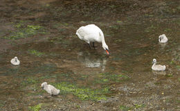 Swan and cygnets feeding Royalty Free Stock Image
