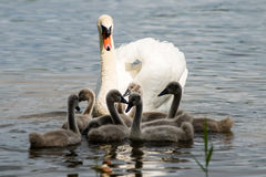 Swan and cygnets first time in the water Stock Photos