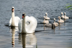 Swan and cygnets first time in the water Royalty Free Stock Image