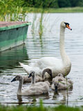 Swan and cygnets first time in the water Stock Photo