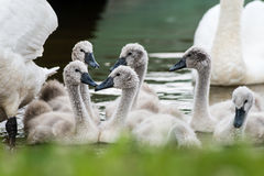 Swan and cygnets first time in the water Royalty Free Stock Photos