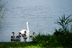 Swan and cygnets first time in the water Stock Images