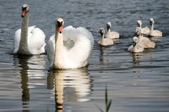 Swan and cygnets first time in the water Stock Photography