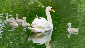 Swan and Cygnets. A swan and her six cygnets on Tom Thumb lake at Eastbrookend Country Park Stock Photos
