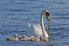 Swan and Cygnets Stock Photography