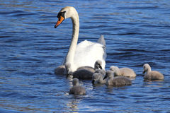 Swan with Cygnets royalty free stock image