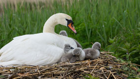 Swan With Cygnets Stock Photos