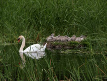 Swan With Cygnets on nest Stock Photo