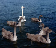 Swan and cygnets on river Royalty Free Stock Photos