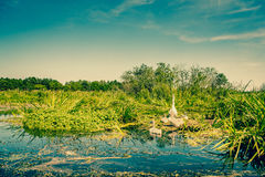Swan with cygnets Stock Images
