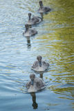 Swan cygnets - ugly ducklings. Swan cygnets floating and swimming Stock Image