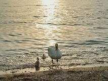 Swan with cygnets waddling to shore at evening mood Royalty Free Stock Photos