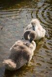 Swan cygnets Stock Image